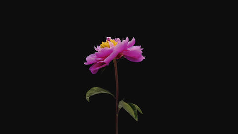 Time-lapse of opening pink peony flower, 4K with ALPHA channel GIF