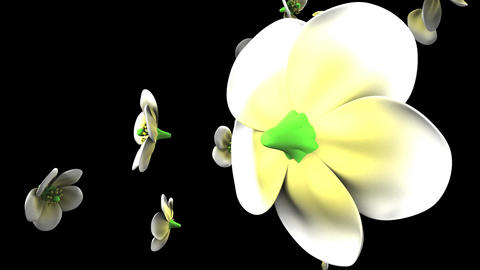 White flowers on black background Videos animados