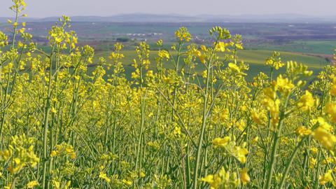 Flowering rapeseed canola field at spring day, bio fuel, oil Footage