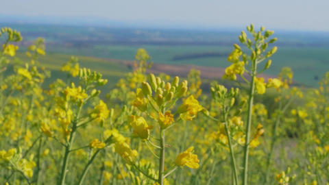 Closeup of flowering rapeseed canola field at spring day Live Action