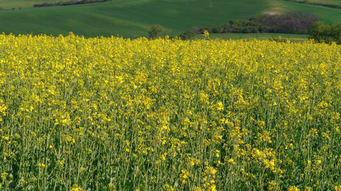 Flowering rapeseed canola and green fields at spring, bio Live Action