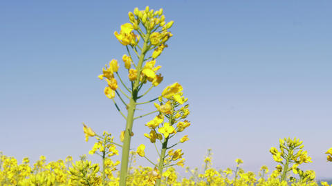 [alt video] Close-up of rapeseed canola flowers under blue sky at spring