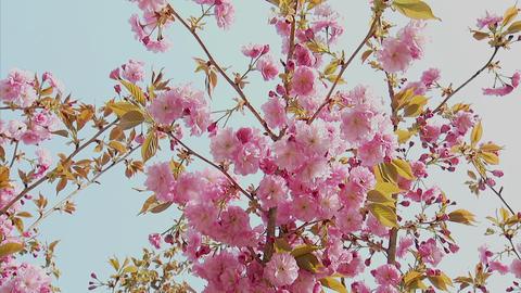八重桜 西湖野鳥の森 4 Footage