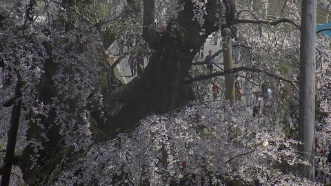 016三大桜 滝桜200905 Footage