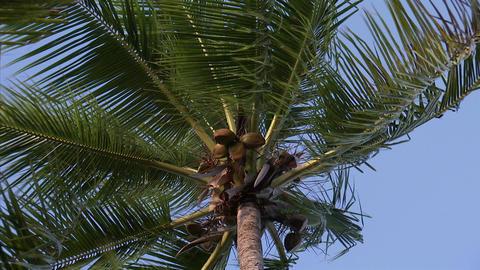 047 Coconut Footage