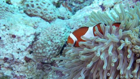 106 001Clown anemonefish1 Footage