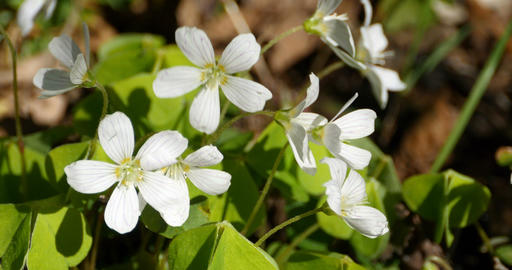 anemone white flowers primroses Footage