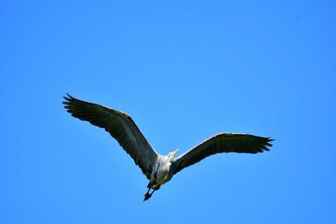 A Great Blue Heron flies overhead, its wings spread out Photo