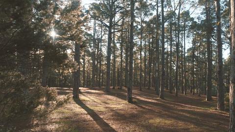 Pine spruce forest in beautiful morning light. Sunbeams pass through branches Live Action
