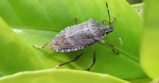 Brown Marmorated Stink Bug Halyomorpha Halys Live Action