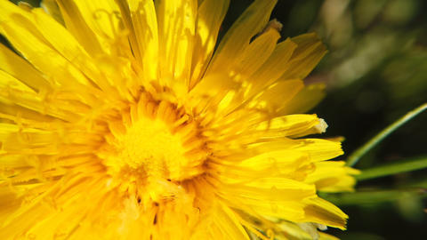 yellow Dandelion flowers turn Archivo