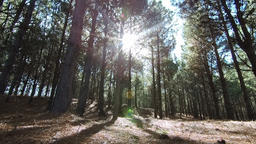 Live Forest video, sun light through the trees with leaves movement, nature landscape Footage