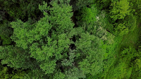 Drone's Eye View - 4K aerial top down view of fly over trees pine Footage