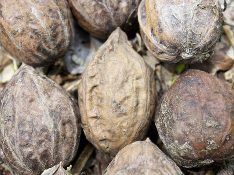 Japanese walnut Fotografía