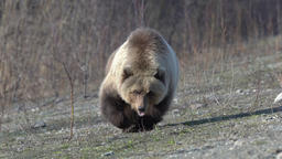 Wild hungry and terrible Far Eastern brown bear walking in search of food Footage