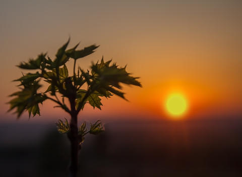 Leaves of young maple at sunrise Photo