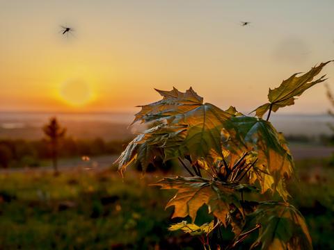 Mosquito over maple at sunrise Photo