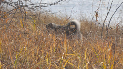 Dog breed West Siberian Laika hunts in the dry grass. Dog catches mouse Footage