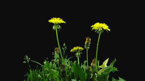 Time-lapse of opening Dandelion flower, 4K with ALPHA channel GIF
