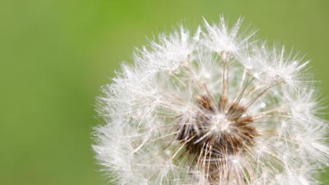 Little dandelion flower 004 Footage