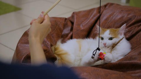 Cuty cat playing with toy Archivo