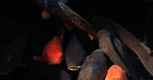 Swimming carp in the pond closeup ビデオ