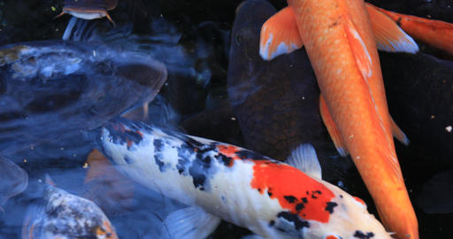 Swimming carp in the pond Stock Video Footage