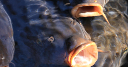 Swimming carp in the pond super closeup Footage