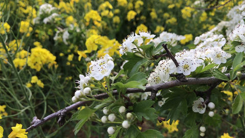 White hawthorn flowers against flowering yellow rapeseed Live Action