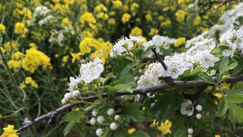 White hawthorn flowers against flowering yellow rapeseed Stock Video Footage