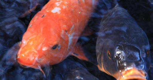 Swimming carp in the pond super closeup ビデオ
