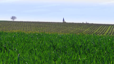 Green grass filed, vineyard and roof of church at windy day Footage