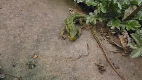 Lizard close up. European green Lacerta viridis on stone and green plant. Small Live Action