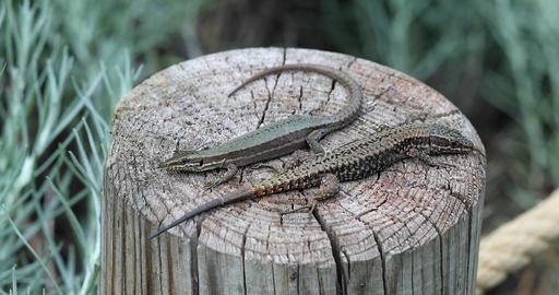 Beautiful Couple of Lizard GIF