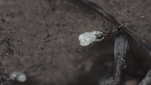 Ants Carrying Eggs From Their Nest GIF