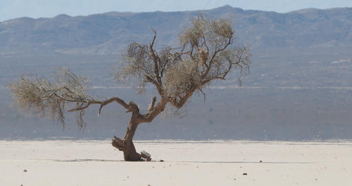 Detail of weathered lonely tree at very arid, dry and desertic landscape in barreal, aimogasta, la Live Action