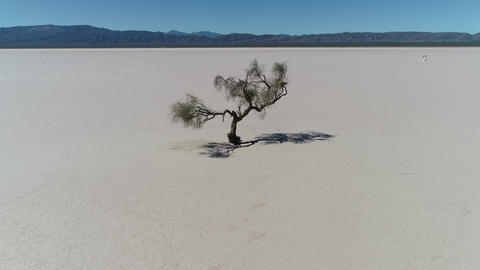 Aerial drone scene of isolated weathered tree in the midel of barreal desert at aimogasta, la rioja, Live Action
