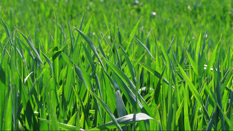Green grass field under wind blast, young wheat close-up Archivo