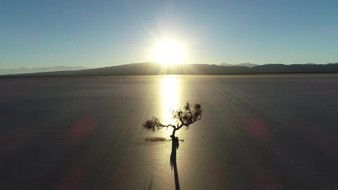 Aerial drone scene of dry twisted tree silhuette at backlight in sunset in a dry broken soil. Desert Live Action