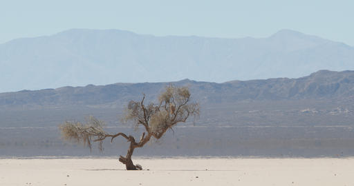 Detail of weathered lonely tree at very arid, dry and desertic landscape in barreal, aimogasta, la Footage