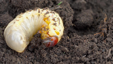 May bug larva in soil GIF