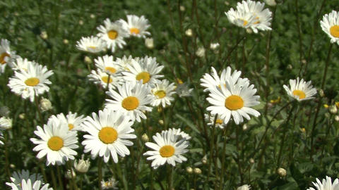 Blooming daisies. Moving camera Footage