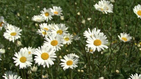Blooming daisies. Moving camera ビデオ