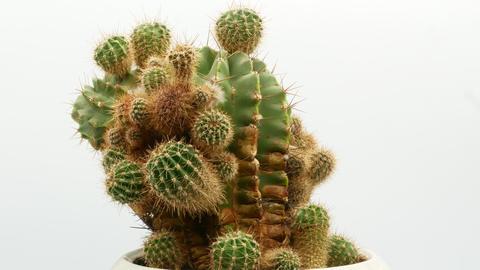 Cactus on isolated white background 4k Footage