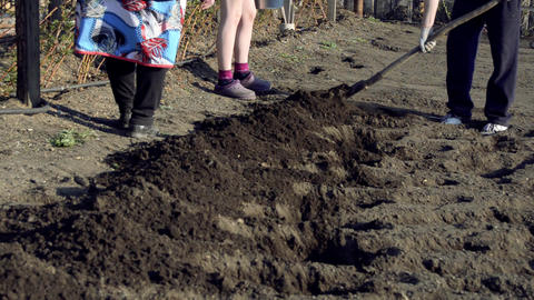 Planting potatoes Season potatoes video Footage