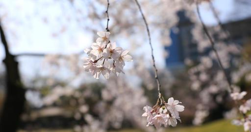 Cherry blossom at Koishikawa kourakuen park in Tokyo handheld closeup ビデオ