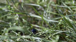 Black Beetle on Green Grass Blades Live Action
