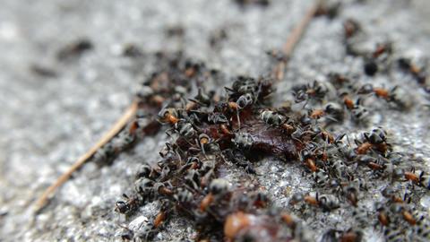Closeup Black Ants On A Dead Worm Live Action