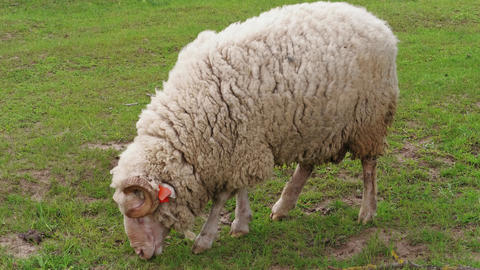 Sheep with ear identification tags grazing on green pasture Live Action