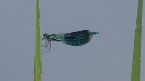 Dragonfly near the river Footage